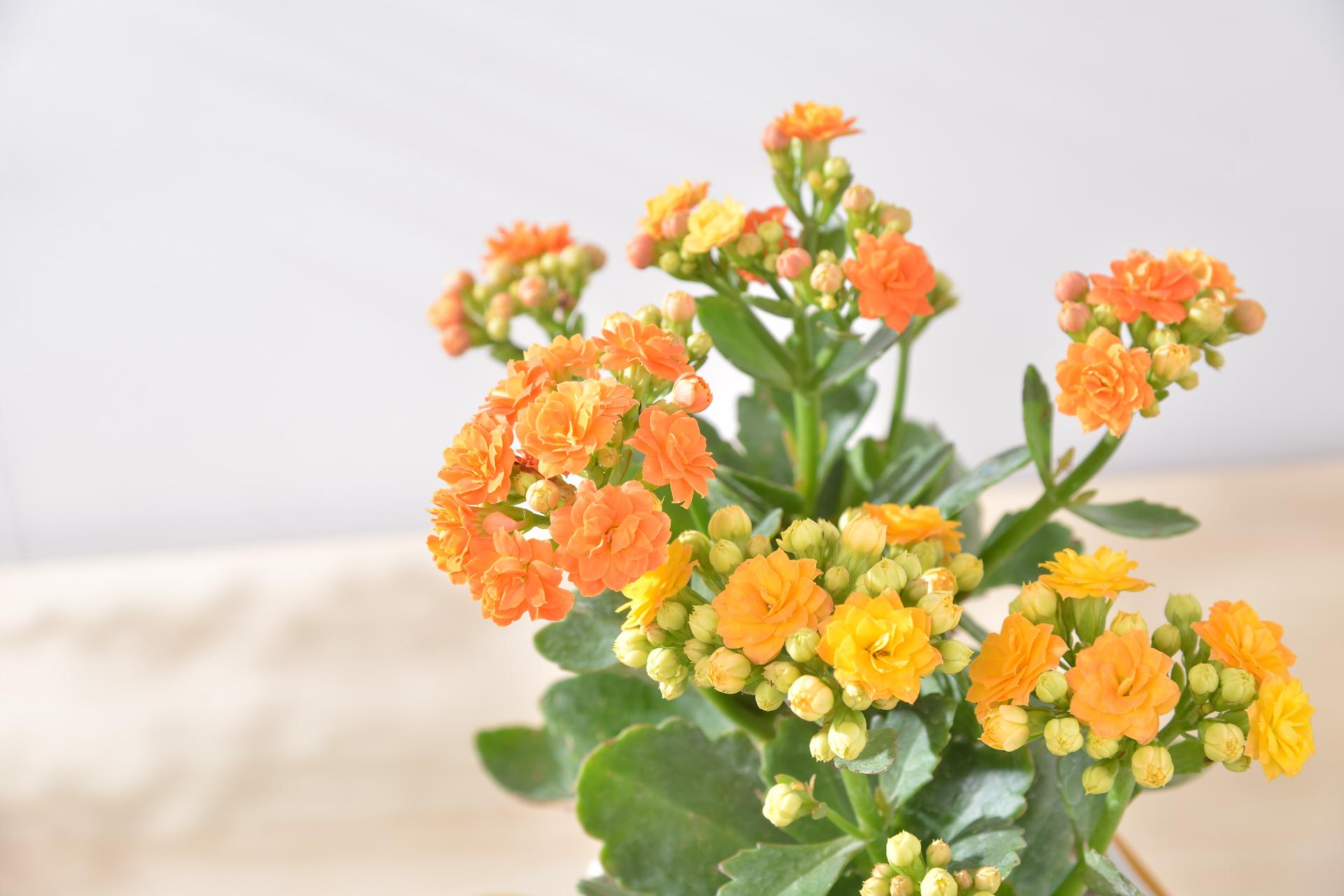 長壽花盆栽 - 簡約方盆組 3工作區域 1 複本 2