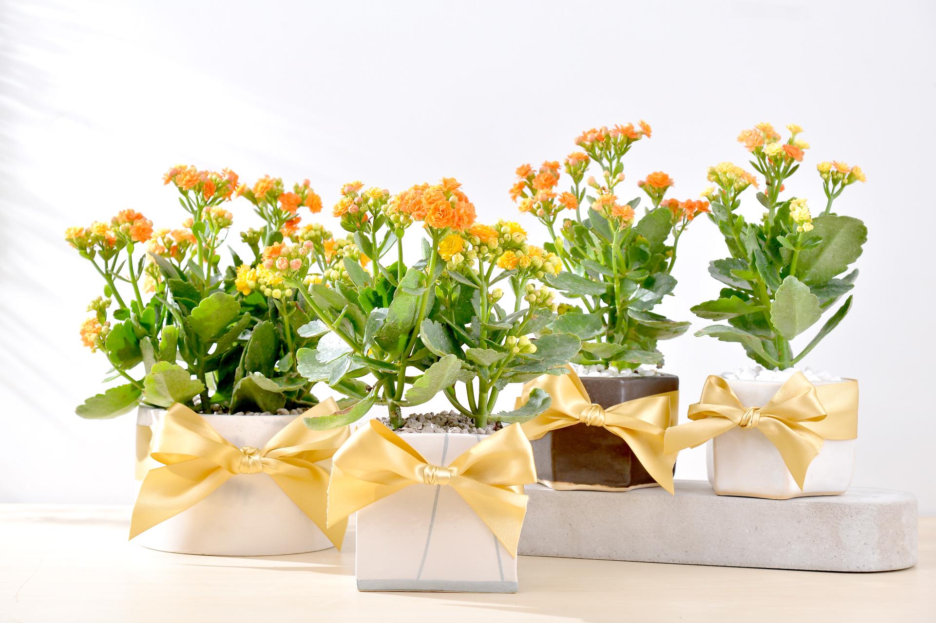 長壽花盆栽組合,不論是搭配水泥盆、陶盆、瓷器都相當適合送禮,開幕盆栽組