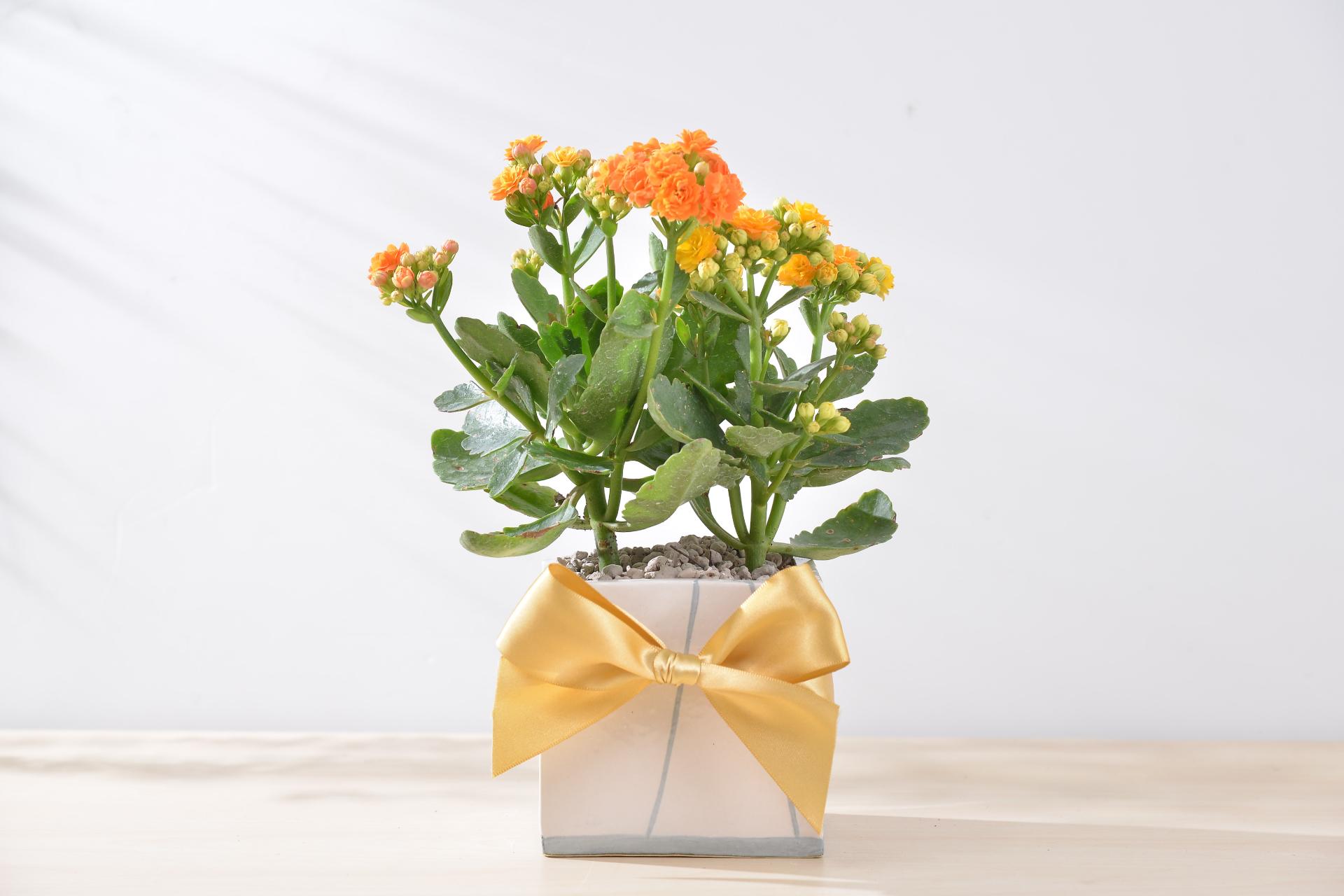長壽花盆栽 - 簡約方盆組 2