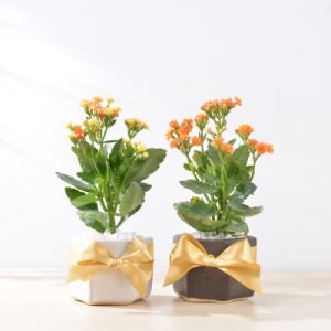 長壽花盆栽 - 好事成雙組 16