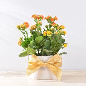 長壽花盆栽 - 大氣單盆組 400工作區域 22 複本