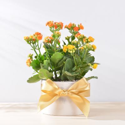 長壽花盆栽 - 大氣單盆組 1