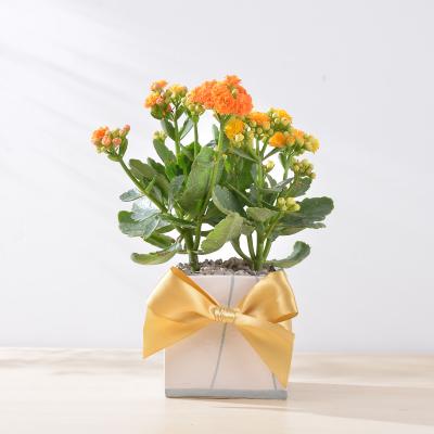 長壽花盆栽 - 簡約方盆組 400工作區域 22