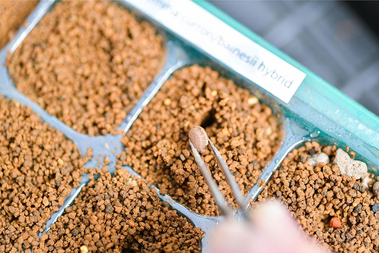 多肉植物種子繁殖法