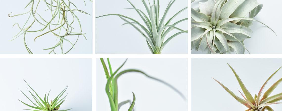 空氣鳳梨栽培照顧