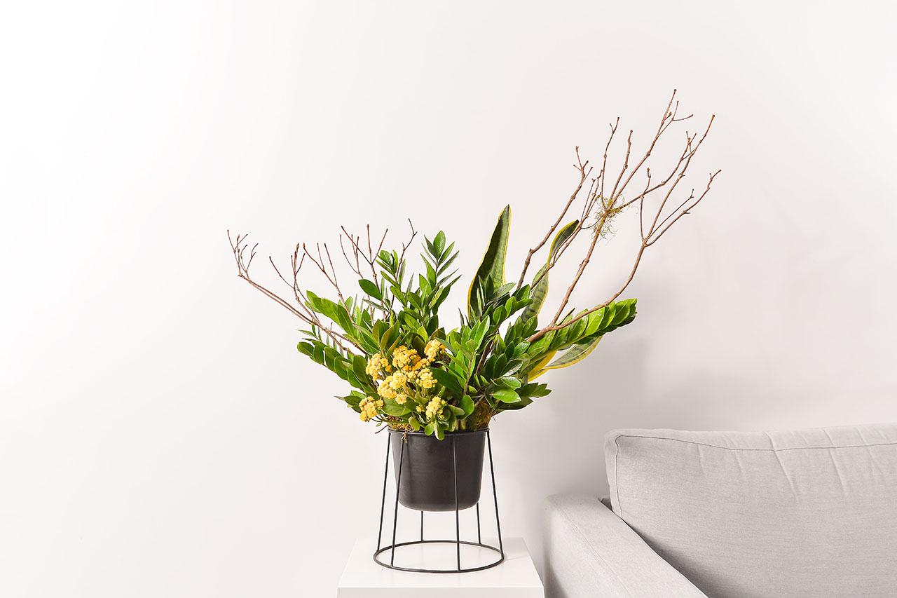 金錢樹盆栽 - 黃金組盆 金錢木1 1280x853 01