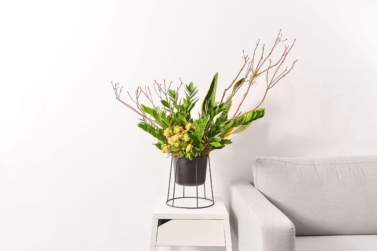 金錢樹盆栽 - 黃金組盆 金錢木1 1280x853 03