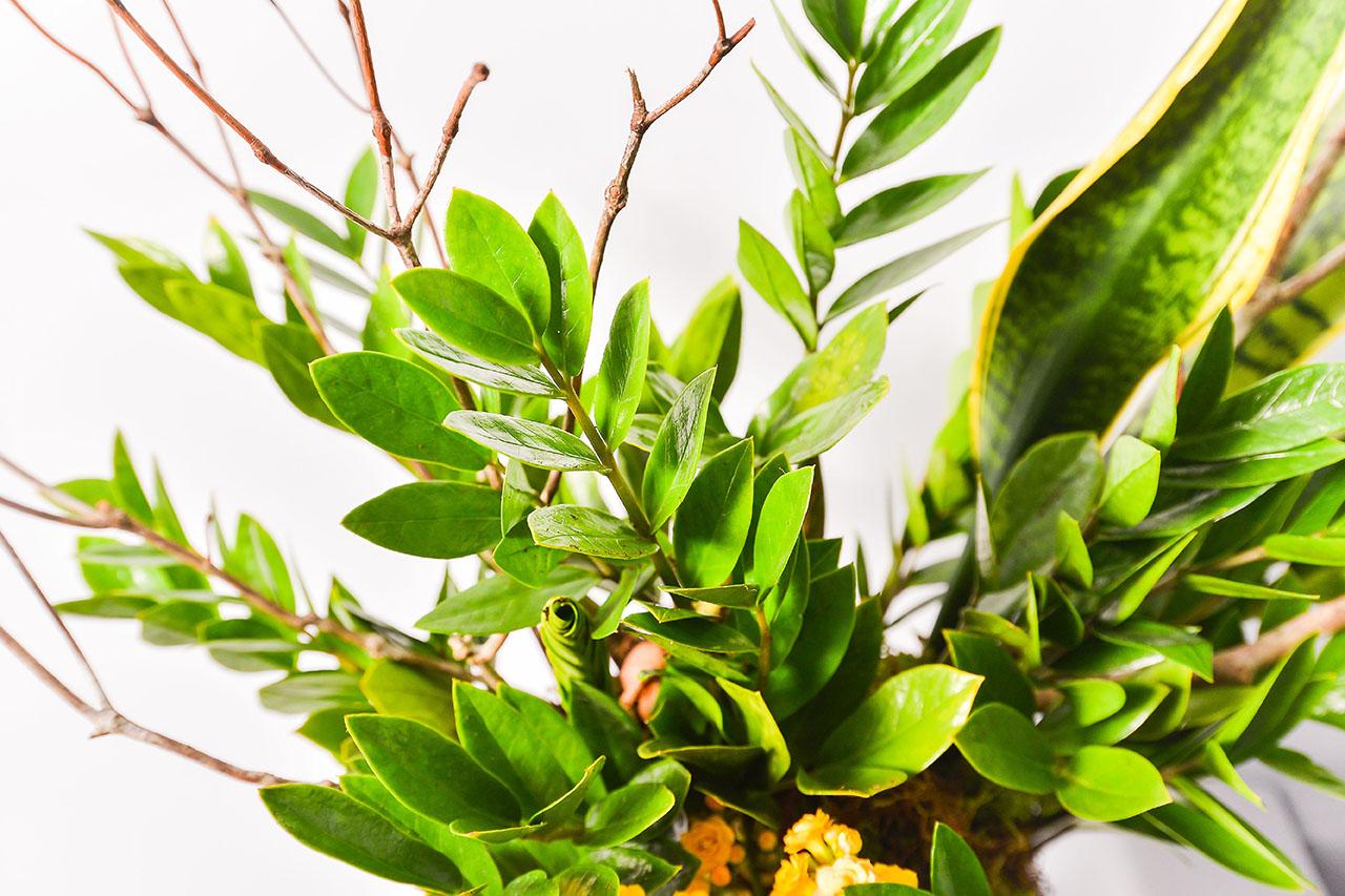 虎尾蘭與金錢樹的結合