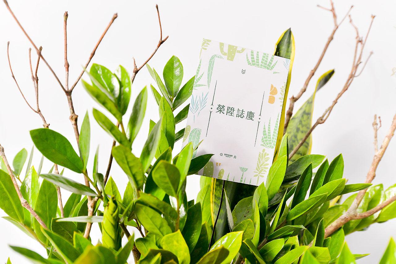 金錢樹盆栽 - 黃金組盆 10