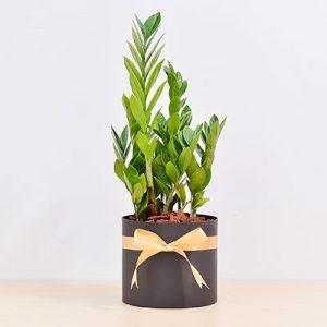 金錢樹 - 質感黑直筒盆 金錢木2 1280x853 02