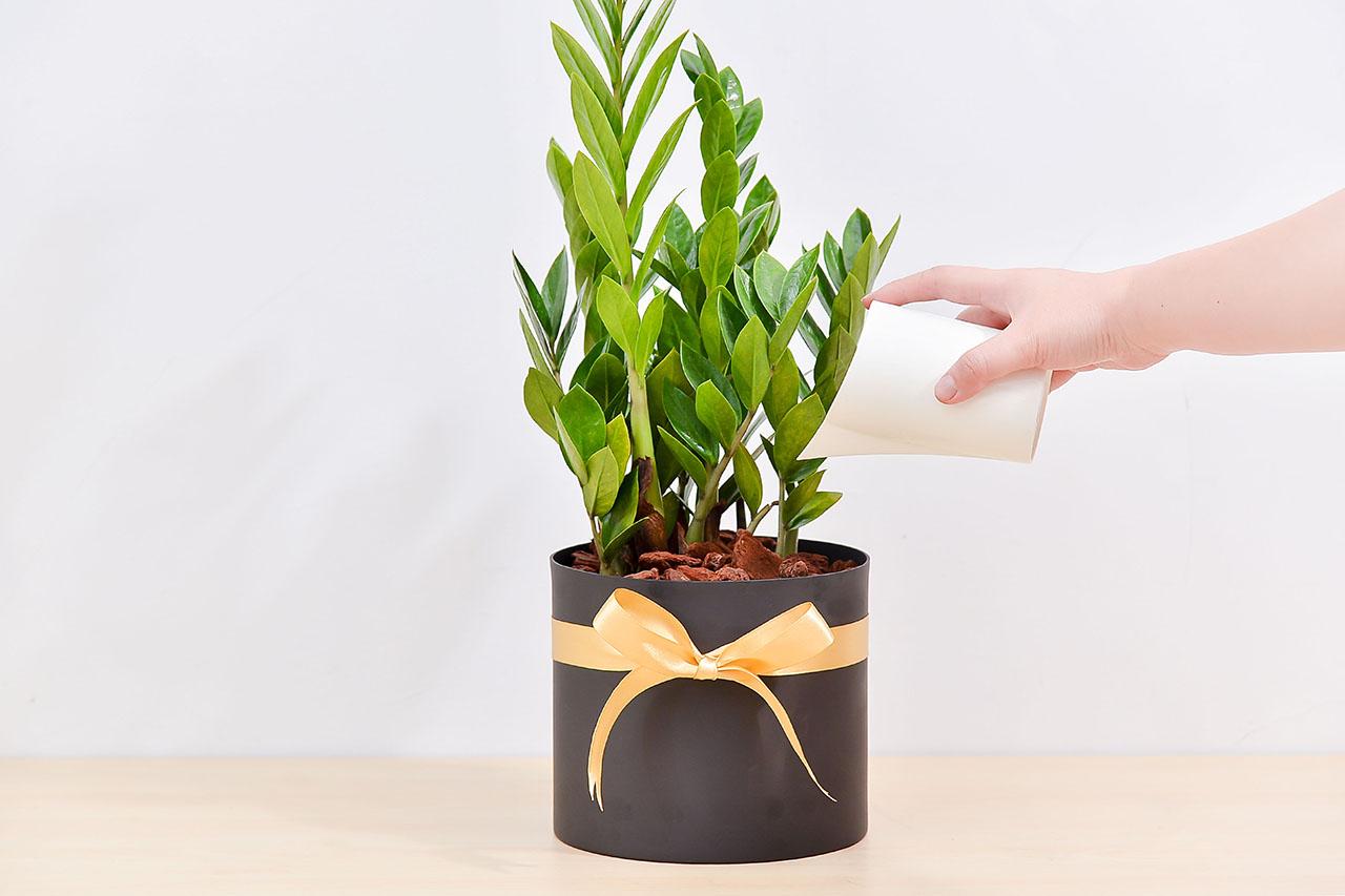 金錢樹搭配台灣設計師設計的質感花盆,截然不同的文藝氣息,立刻脫穎而出,照顧金錢樹的方法就是寧願水少,不要水多,會導致發霉爛根
