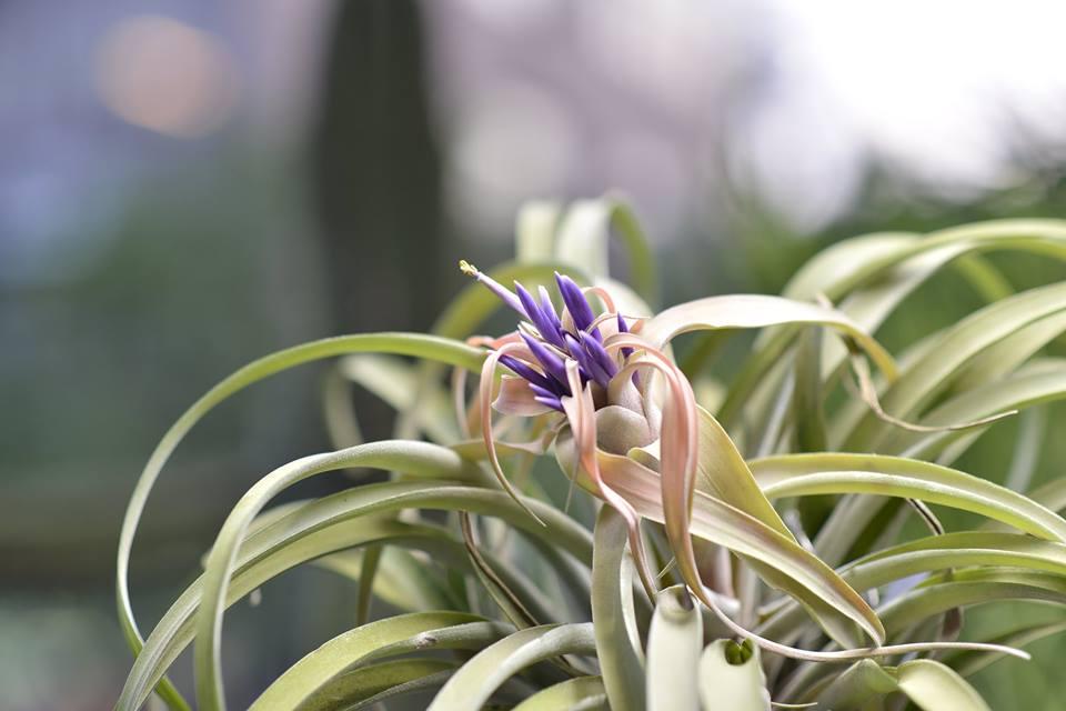 空氣鳳梨會開花,大多數都會有很豐富的色彩表現,如紅色、紫色等等
