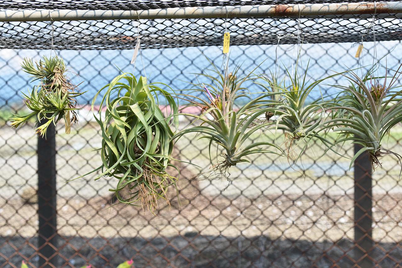 空氣鳳梨就是鐵蘭屬的植物,可以依靠空氣中的成分及濕度存活的植物
