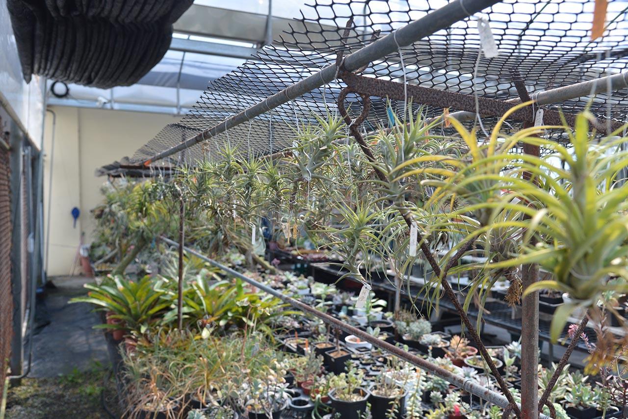 空氣鳳梨的照顧重點之一就是不可以讓中心處積水