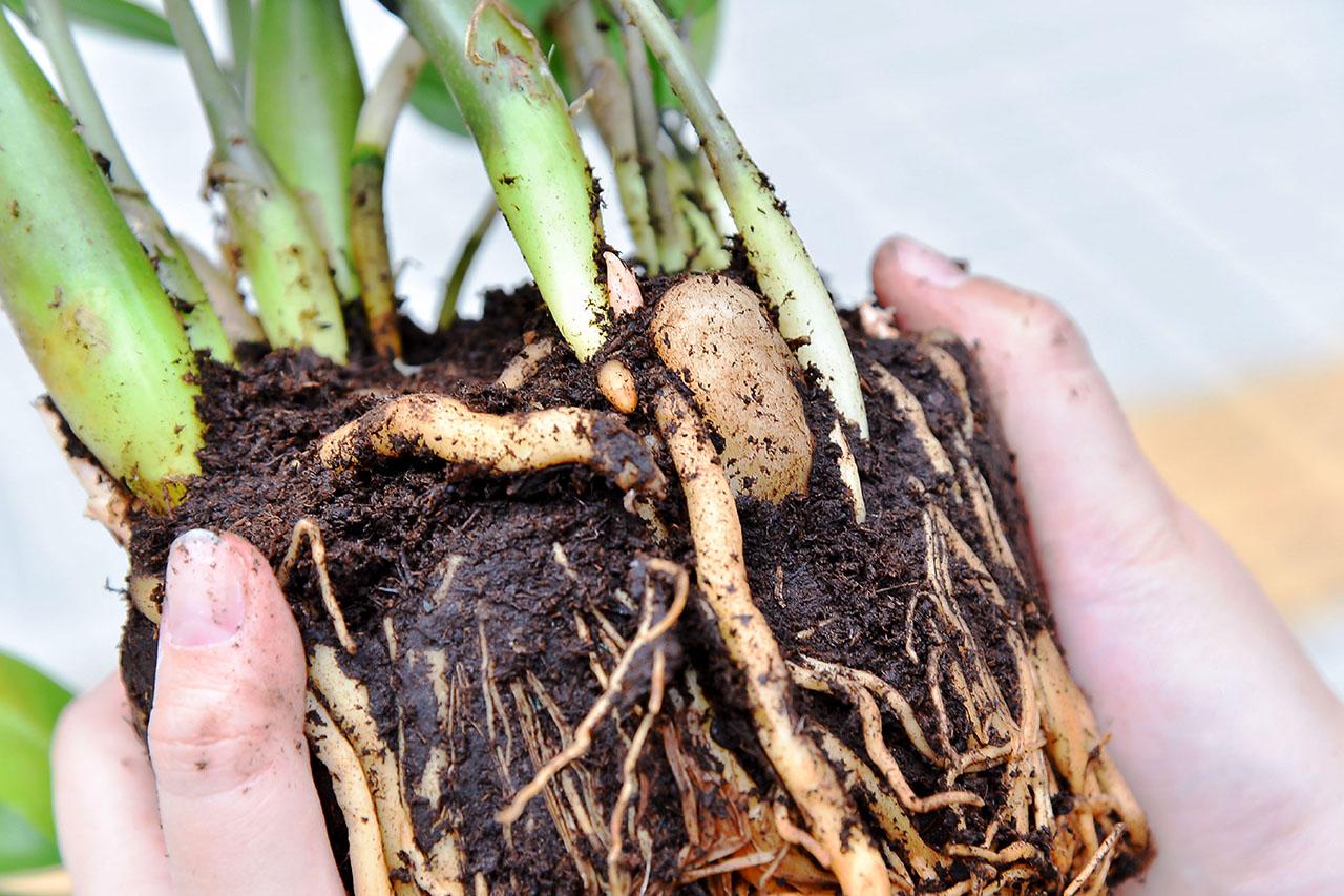 塊根型的多肉植物