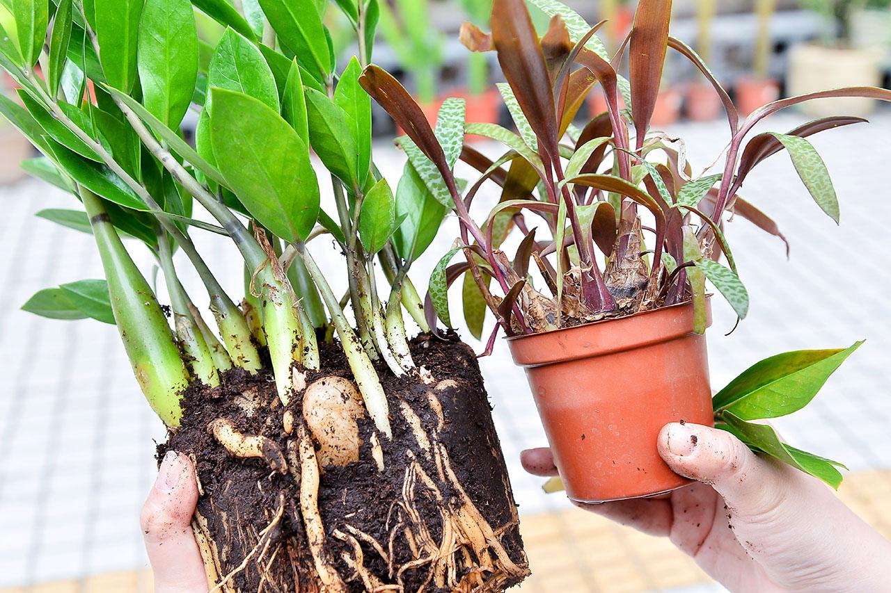 金錢樹是多肉植物的主因是:具有能夠儲存大量水份的肉質根莖,如圖可以看到,跟油點百合一樣