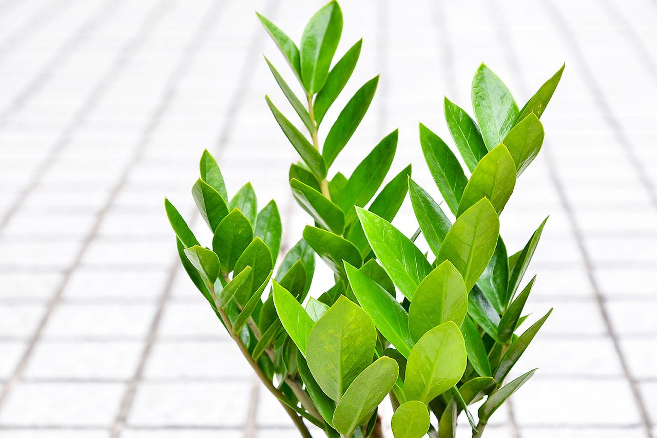 金錢樹也是一種觀葉植物,小株的推薦當桌上型盆栽,大株的金錢樹就可以放在玄關或者櫃子上,很棒的室內盆栽