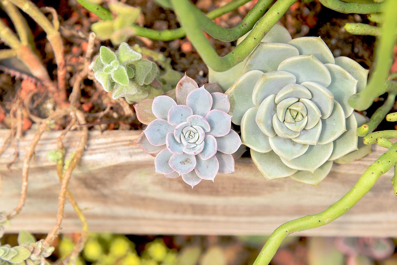 白牡丹種植在木質盆器中
