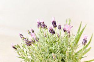 紫色進口薰衣草盆栽