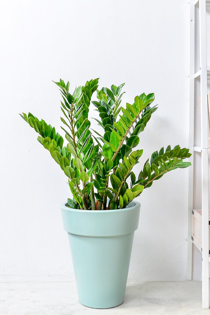 金錢樹-湖水綠落地盆栽 1