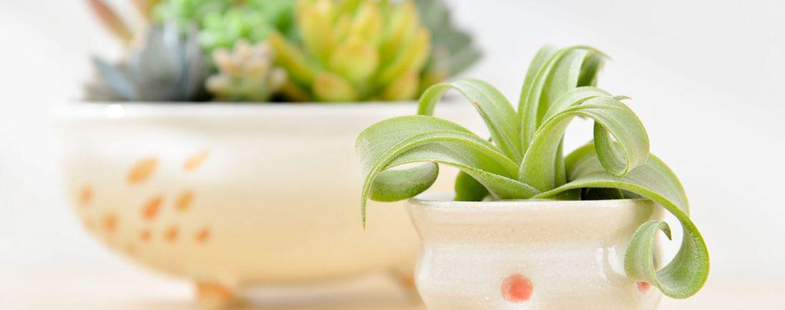 空氣鳳梨與多肉植物盆栽
