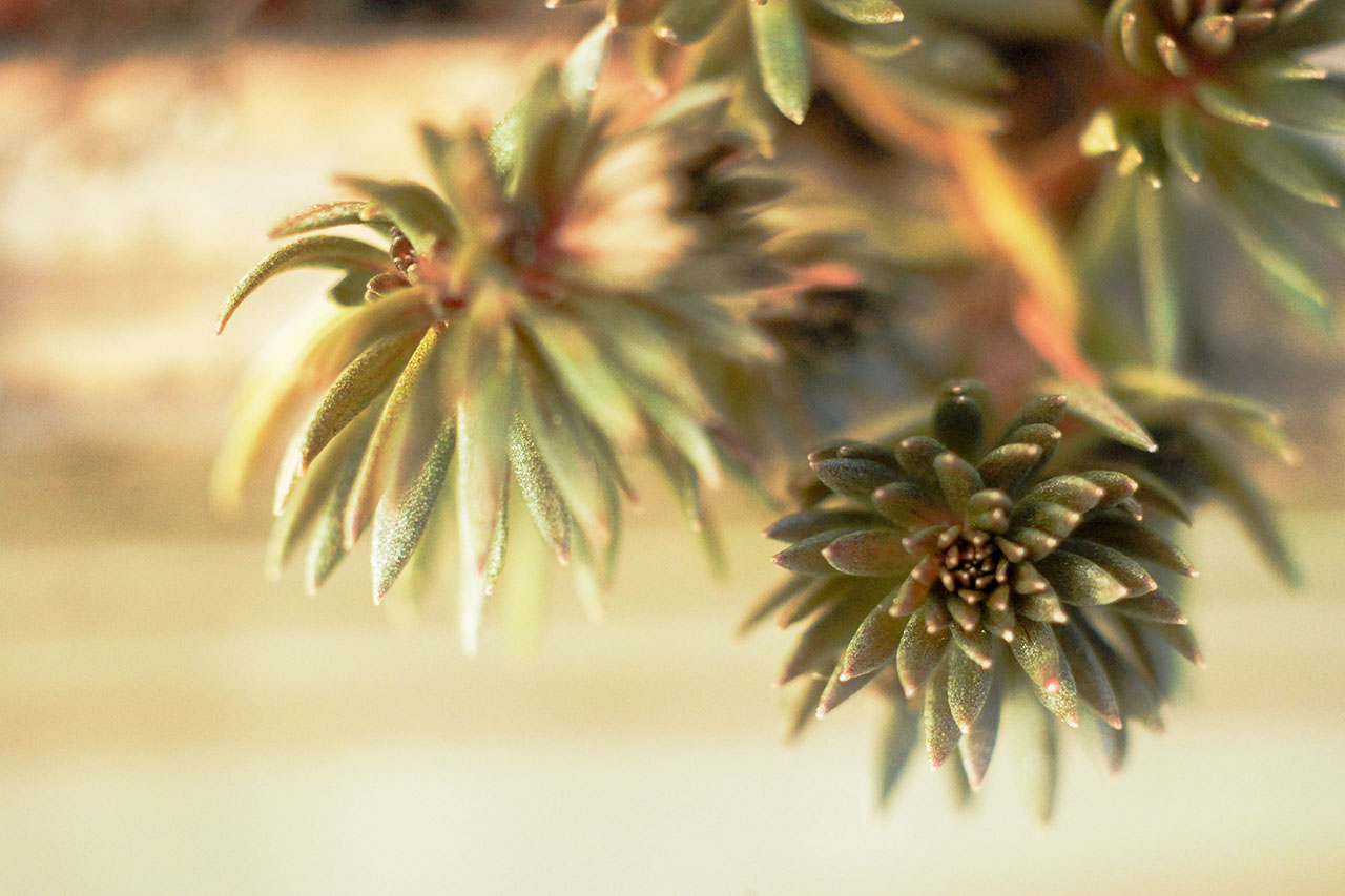 多肉植物:米瑟蘿