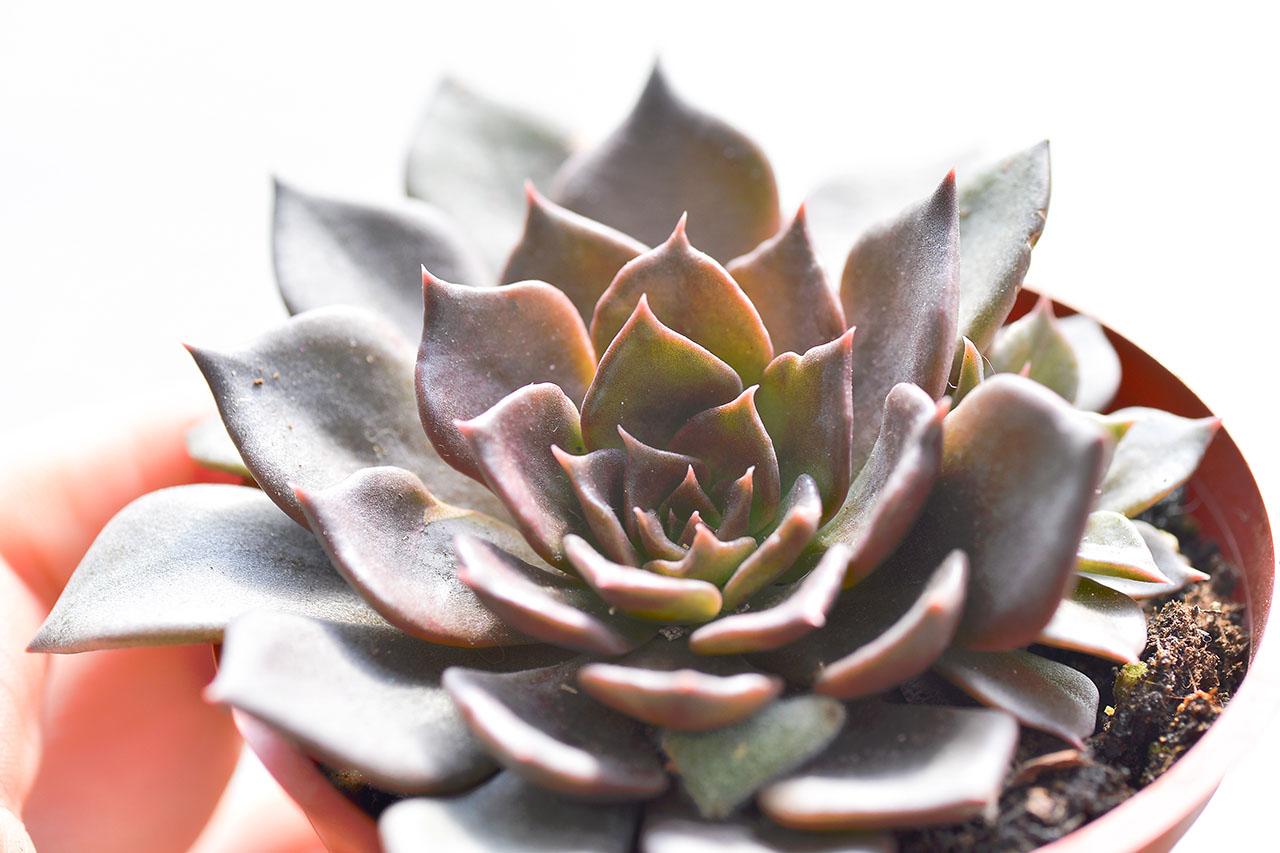 花型多肉植物 黑王子