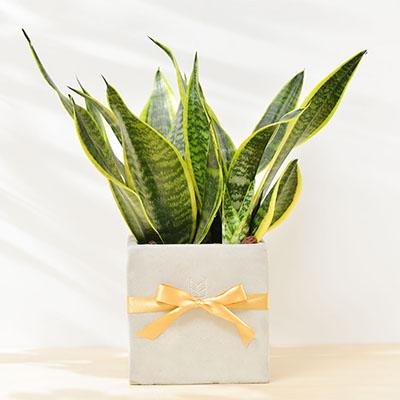 虎尾蘭 – 自然空氣清淨機(桌上型) 聯名方盆