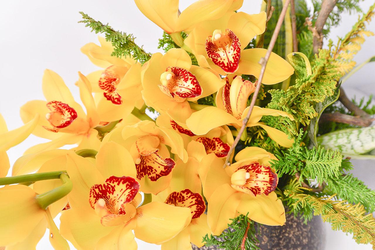 鑽石型蘭花盆栽 黃色虎頭蘭