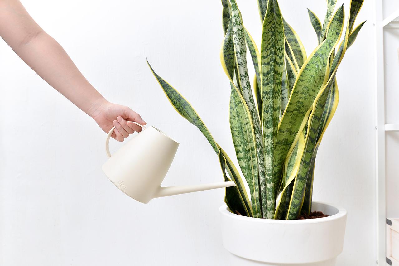 虎尾蘭 – 白色落地盆栽 3