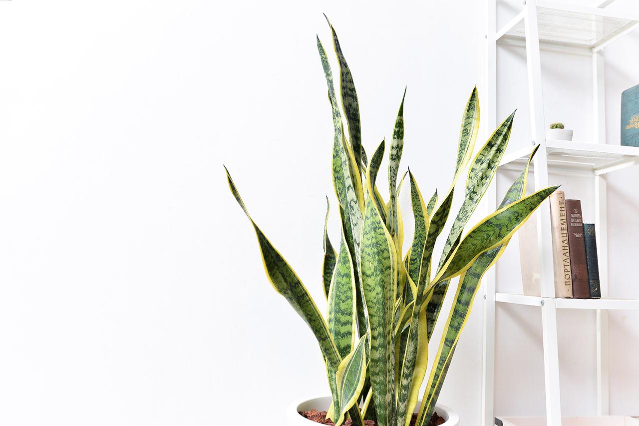 虎尾蘭 – 白色落地盆栽 6