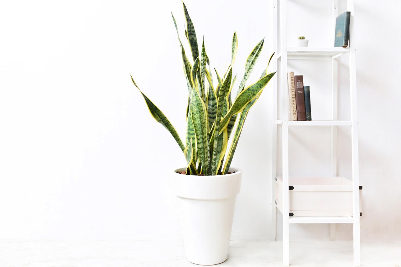 虎尾蘭 – 白色落地盆栽 2