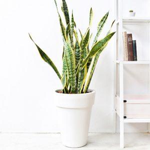 虎尾蘭 – 白色落地盆栽 12