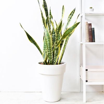 虎尾蘭 – 白色落地盆栽 1