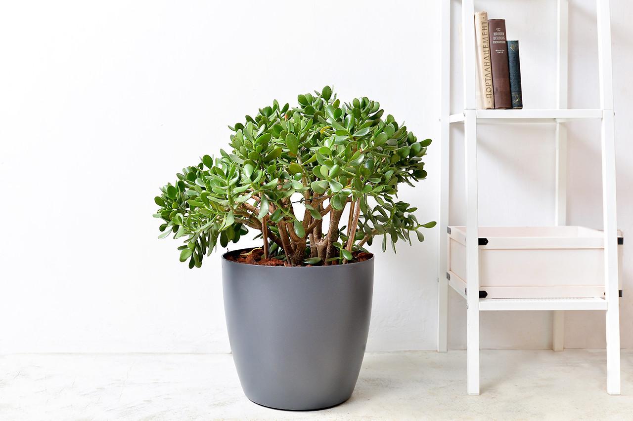 發財樹也是多肉植物嗎? 1