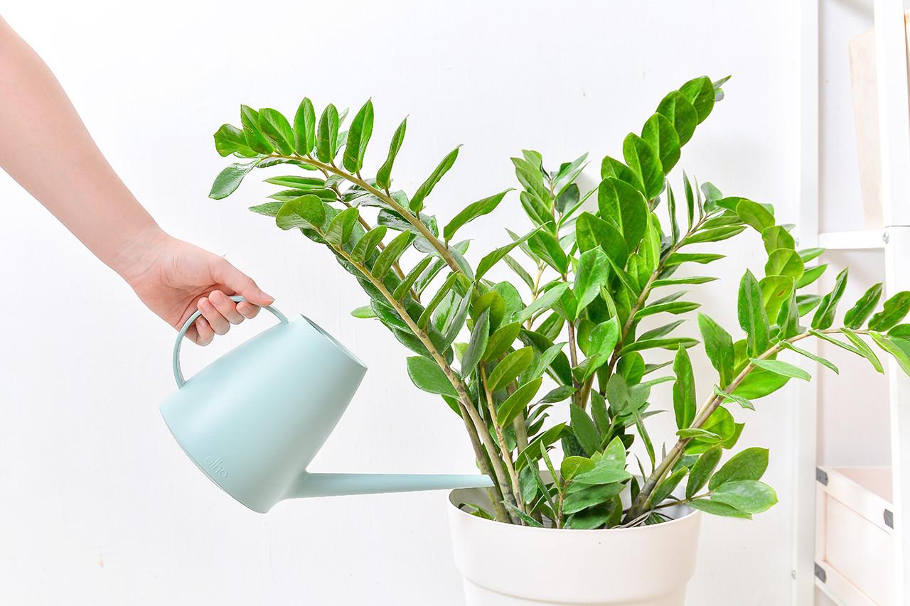 金錢樹-白色落地盆栽 (附接水盤) 2