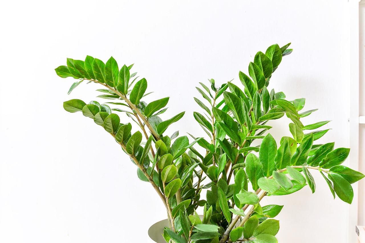 金錢樹-白色落地盆栽 (附接水盤) 3