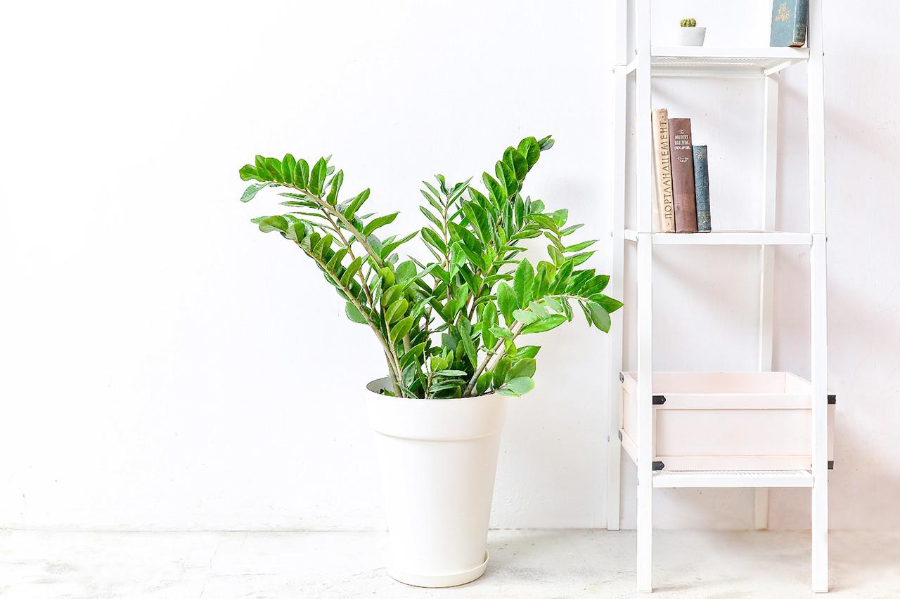 金錢樹-白色落地盆栽 (附接水盤) 1