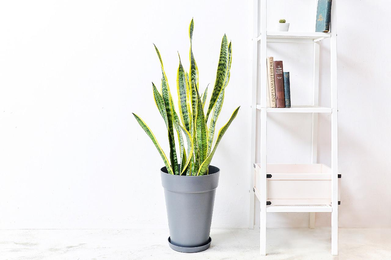 虎尾蘭盆栽的新設計!五種美好呈現 1