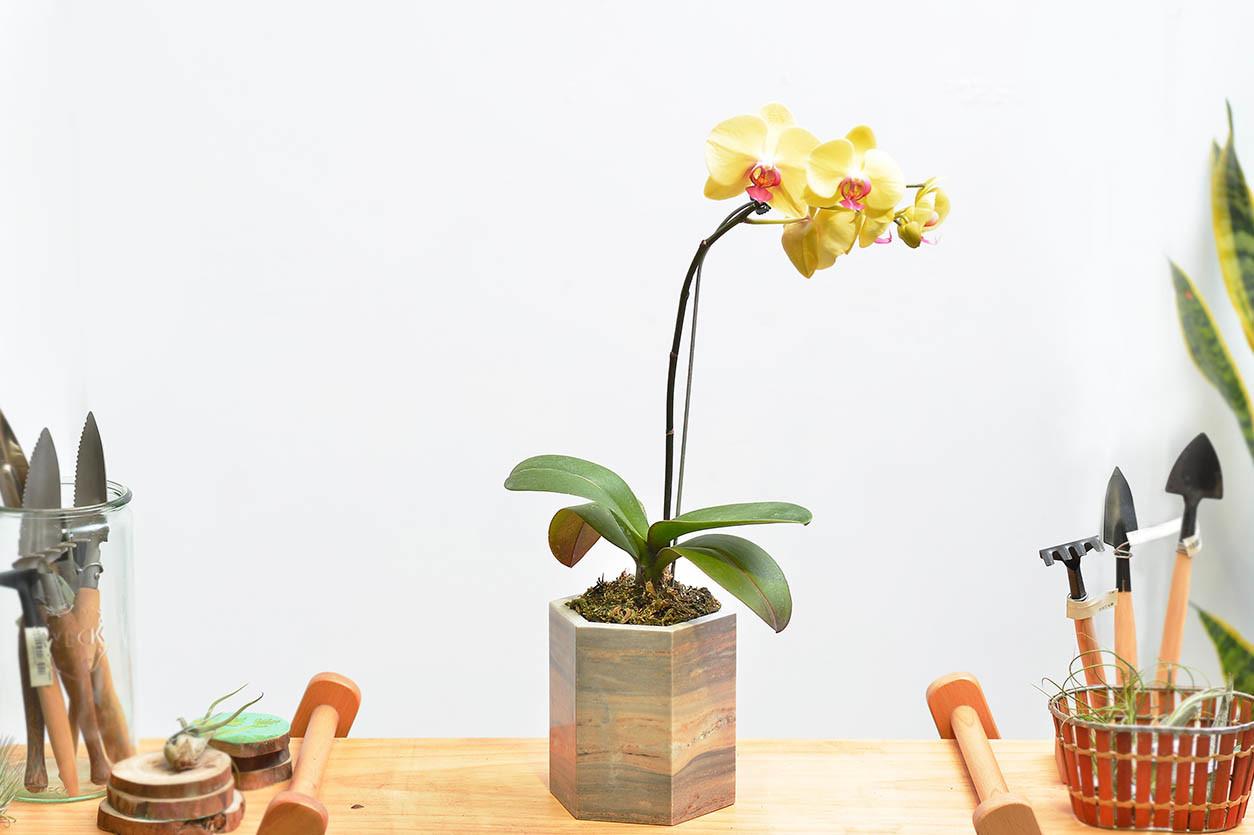 蘭花送禮盆栽