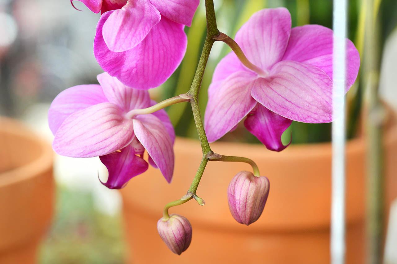 蘭花盆栽觀賞方法