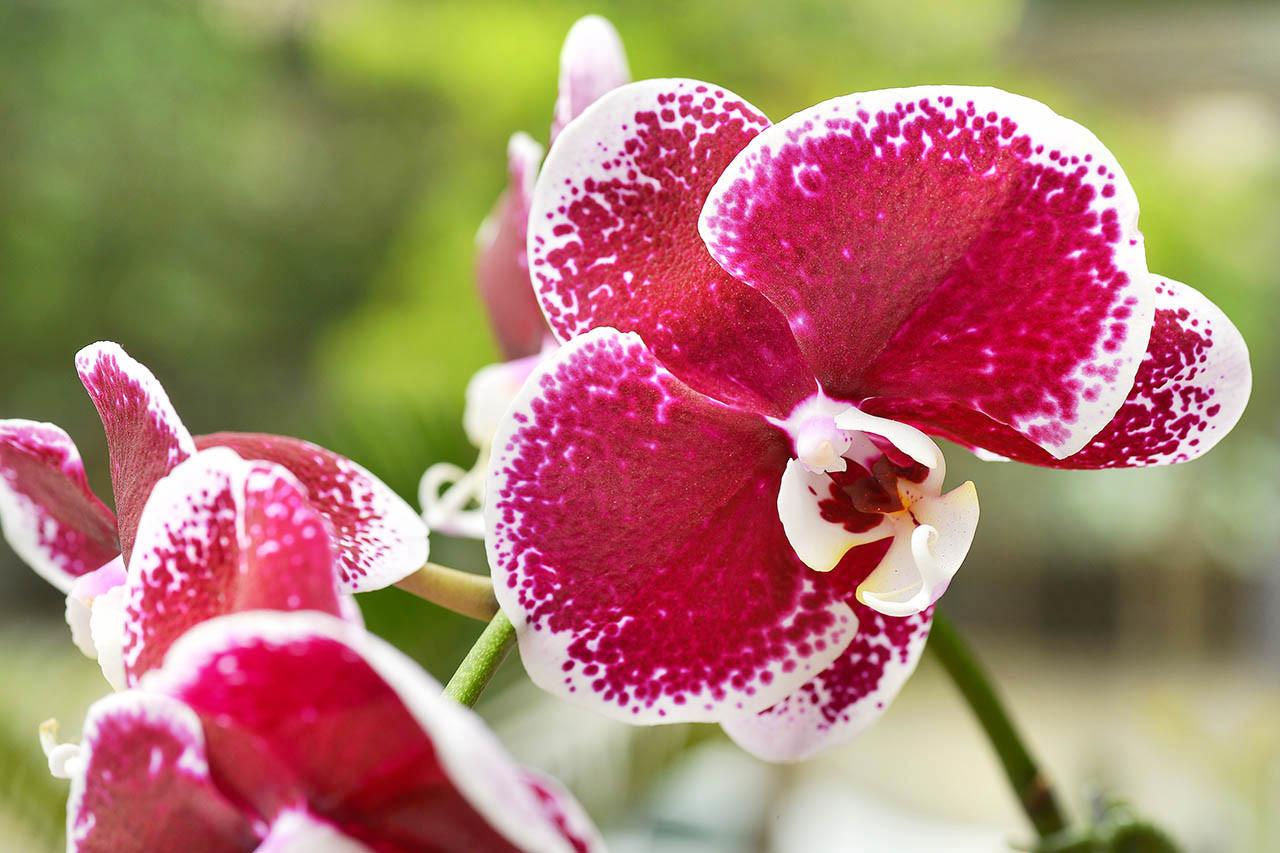 蘭花由三片花瓣與三片萼片組成
