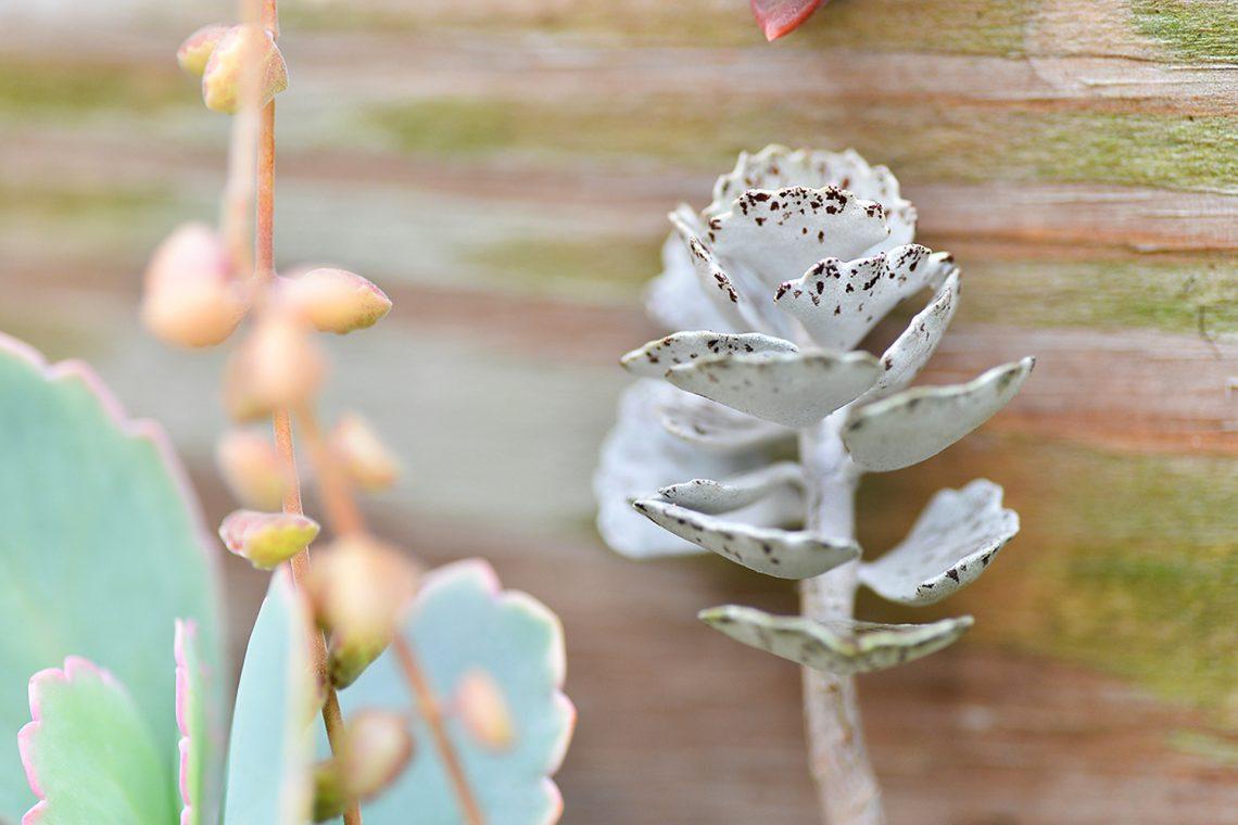 多肉植物雀扇攝影