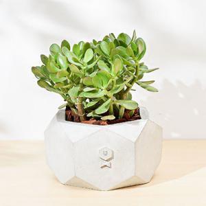 開幕賀禮-發財樹桌上型盆栽