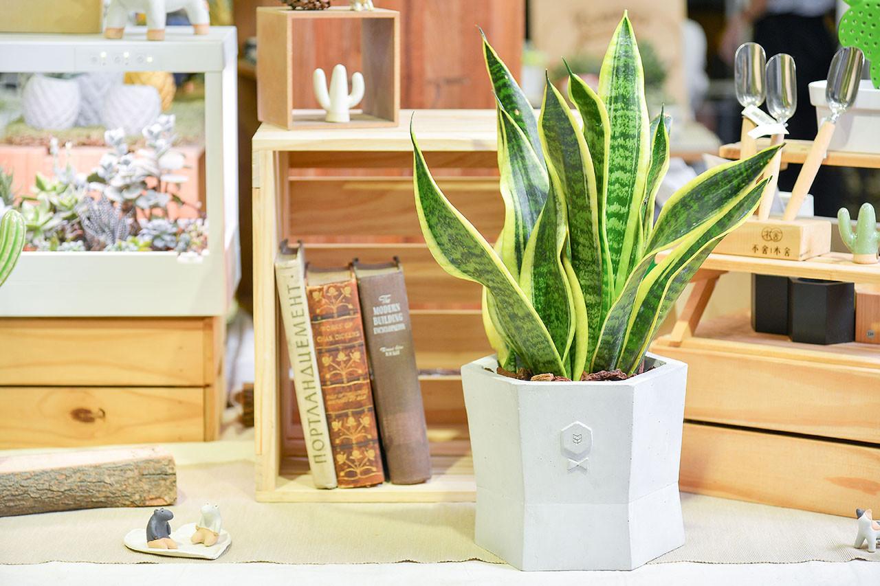 桌上的虎尾蘭盆栽