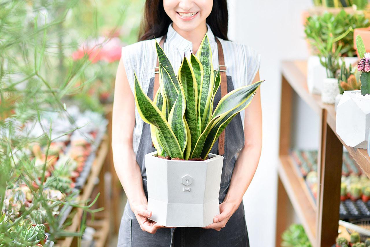 虎尾蘭盆栽代客送花