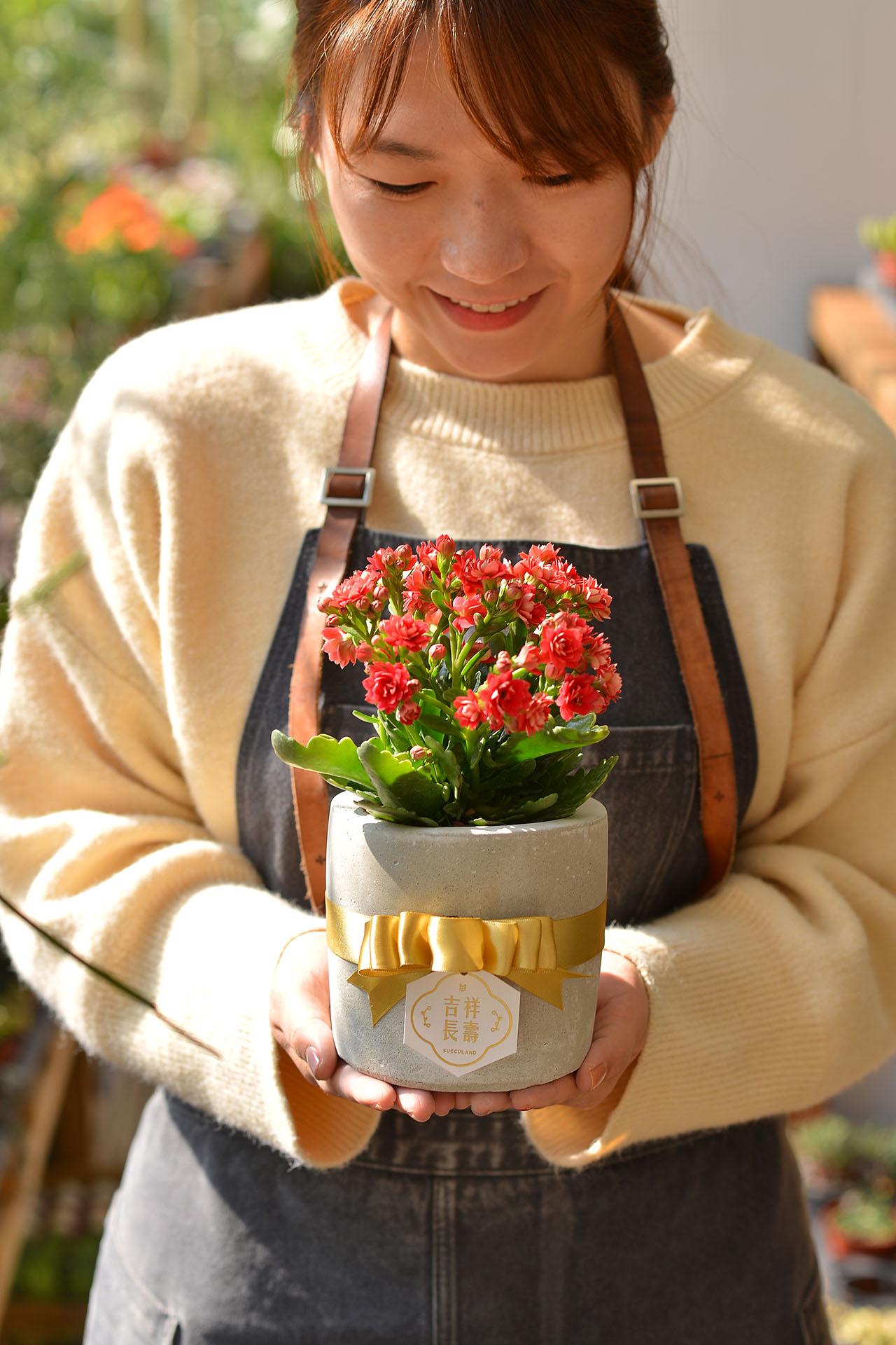 長壽花盆栽 - 小洛克 10 12