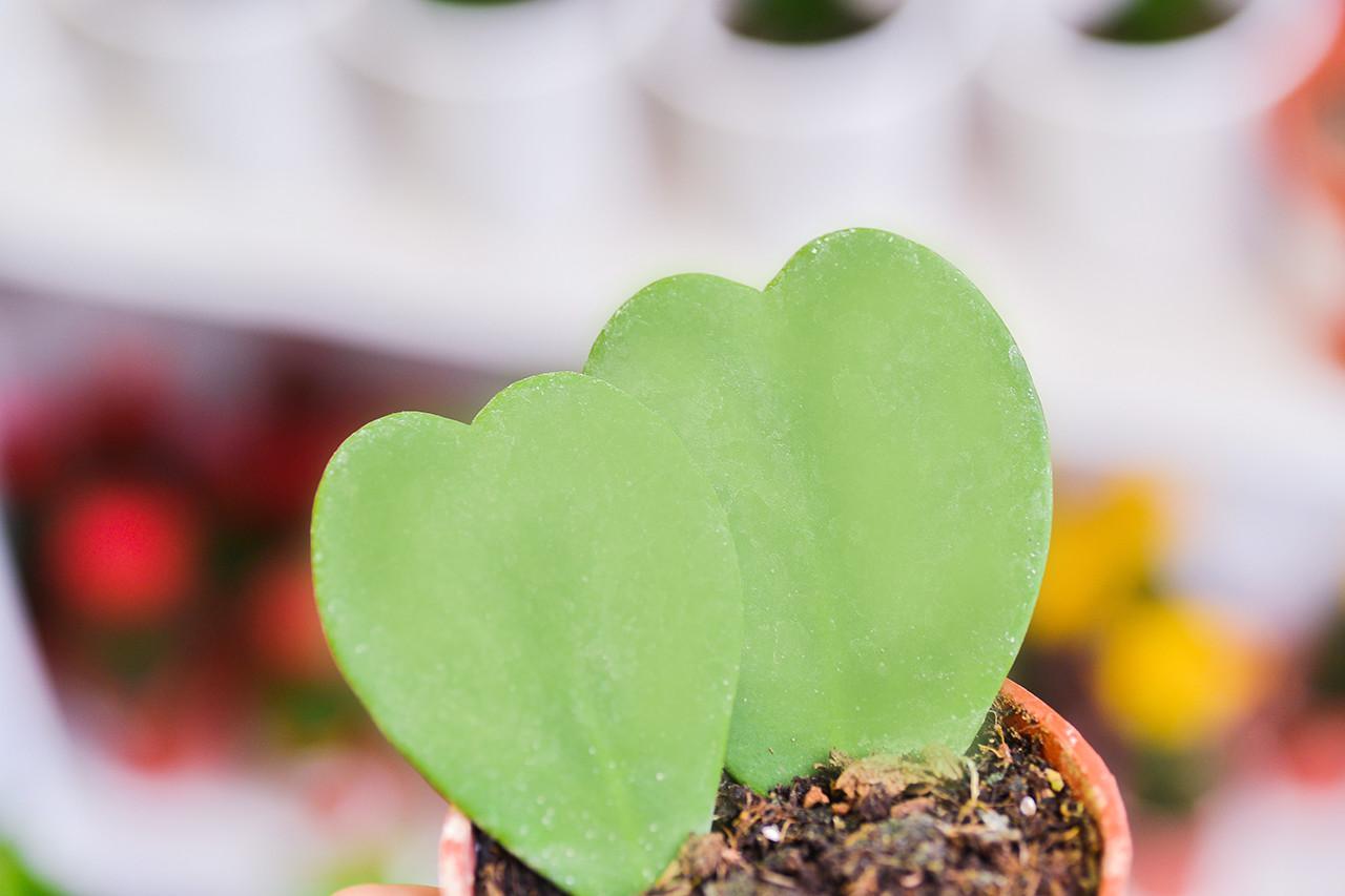 多肉植物 心型毬蘭
