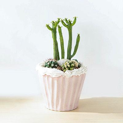 仙仙蛋糕盆栽