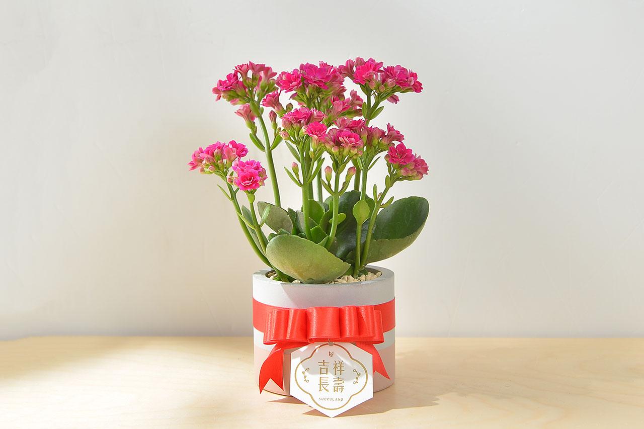 長壽花盆栽 - 一般種 2